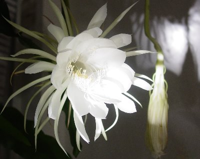 Queen of the Night- My Cereus Glass Art